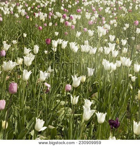 A Large Field Of Pink And White Tulips On Show