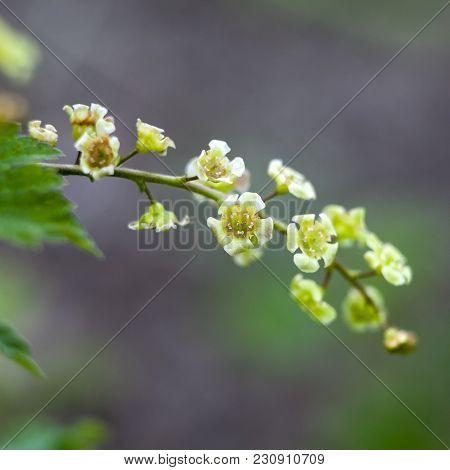 The Ribes Rubrum. Redcurrant Jonkheer Van Tets Flowers