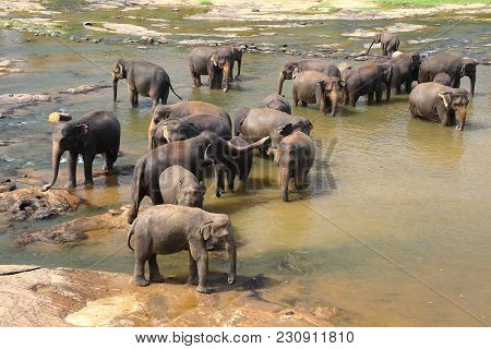 Elephants, Elephans Maximus, Of Pinnawala Elephant Orphanage Bathing In River