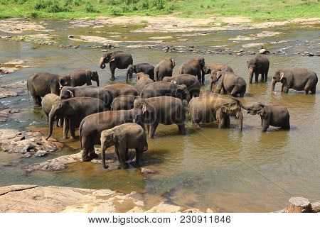 Elephants, Elephans Maximus, Of Pinnawala Elephant Orphanage Is Bathing In River