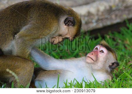 Macaque Monkey Macaca Sinica Sex, Sri Lanka
