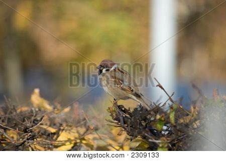 Lone brown sparrow on the bush branch poster