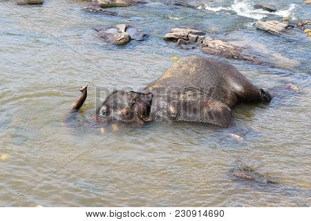 Male Of Asian Elephant Elephas Maximus Bathing In The River