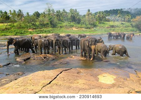 Elephants, Elephans Maximus, Of Pinnawala Elephant Orphanage Is Bathing In River, Sri Lanka
