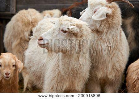 Goatling. The Domestic Goat (capra Aegagrus Hircus). The Domestic Goat  Is A Subspecies Of Goat Dome
