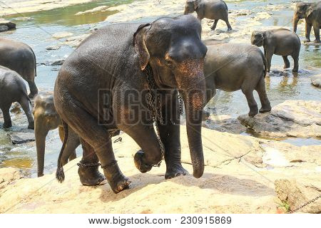 Elephants, Elephas Maximus, In Chains, Cruelty To Animals In Pinnawala Orphanage Sri Lanka