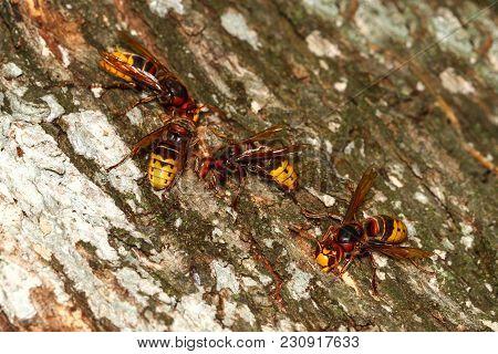 Group Of Dangerous Hornets Vespa Crabo On Tree Bark