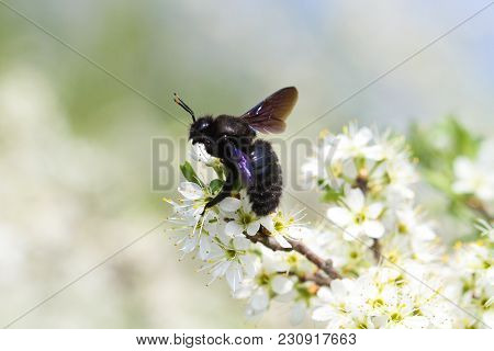 Carpenter Bee Xylocopa Violacea, Pollinate Bloomed Flowers In Springtime