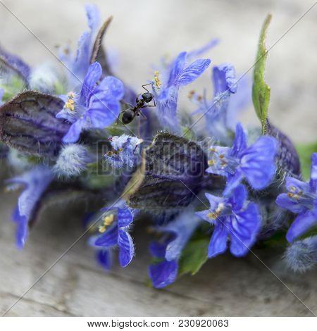 The Close Up Of Blue Or Violet Sage Flower, Salvia Officinalis, Macro