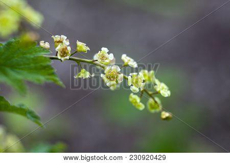 Ribes Rubrum. Redcurrant Jonkheer Van Tets Flowers