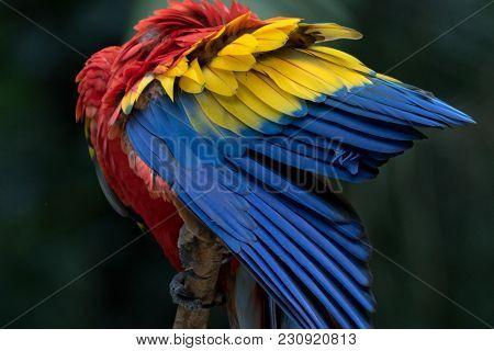 A Scarlet Macaw In Copan Honduras Central America