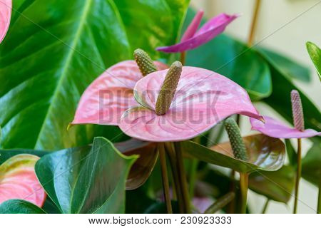 Closeup Of Blooming Anthurium Flower, Selective Focus