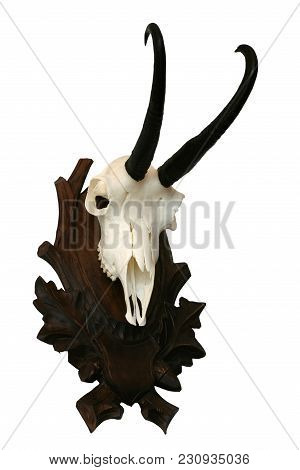 Chamois Skull Trophy Objects Isolated Animals Theme