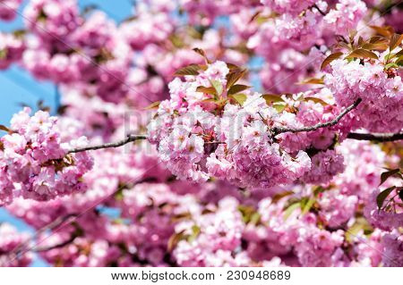 Sakura Season Concept. Sakura Blossom Of Pink Flowers On Sunny Day, Spring.