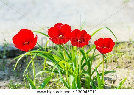 Tulip Flower Garden In Spring. Tulips With Red Petals Blossoming On Sunny Day. Love, Passion, Romanc