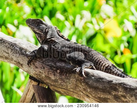 Black Spiny Tailed Iguana Wish Willy Resting In Belize Central America