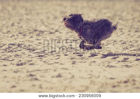 Playful Animals, Pets Outside Concept. Mongrel Dog Playing And Running On Beach. Outdoor Shot On Sun