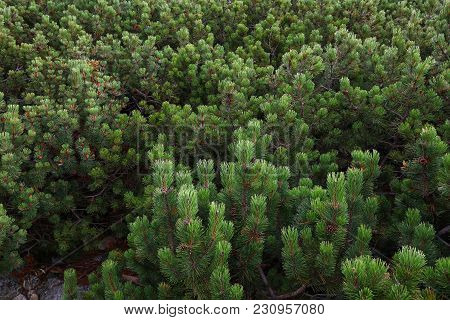 High Angle View Of Mountain Pine Small Trees, Aerial, Birds Eye View
