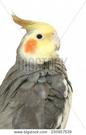 Cockatiel On A White Background. The Cockatiel, Also Known As The Quarrion, Is A Bird That Is A Memb