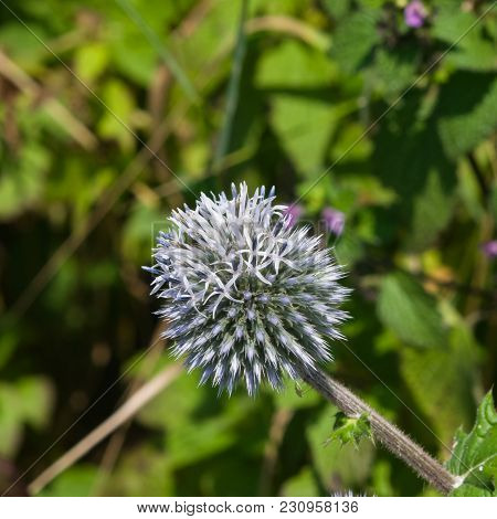 Blossom Of Great Globe-thistle Or Echinops Sphaerocephalus Close-up, Selective Focus, Shallow Dof.