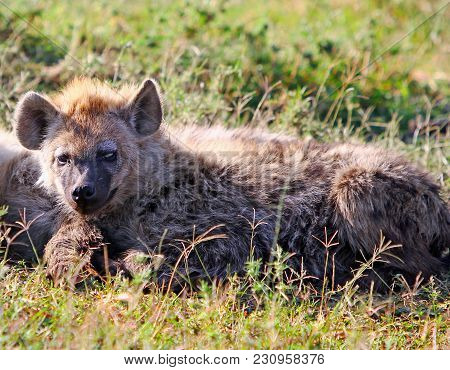 A Young Fluffy Hyena Resting On The African Plains In The Masai Mara, Kenya