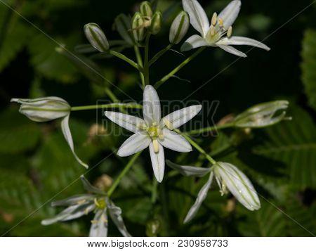 Armenian Star Of Bethlehem Or Ornithogalum Hajastanum Flowers Macro, Selective Focus, Shallow Dof.