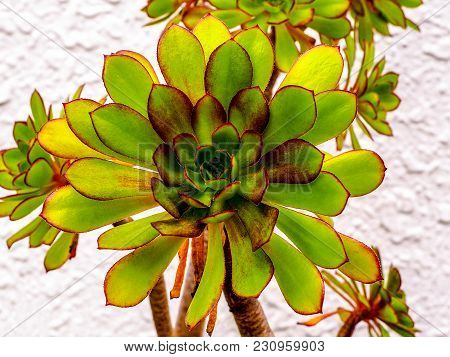 Bright Succulent Plant, Jovibarba, With Red Edges And Tiny Prickles. Closeup Of Round Jovibarba Succ