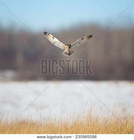 Short Eared Owl In A Hunting Dramatic Hover Over A Grass Foreground