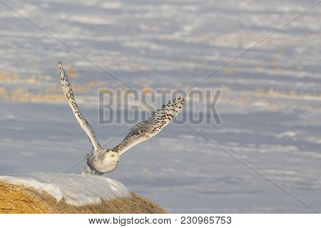One Snowey Owl Taking Flight On Bright Snow Covered Field  Background