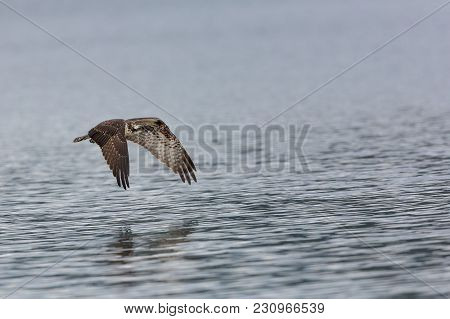 Young Osprey In Flight Over Water Wings Down, After A Failed Fishing Attempt