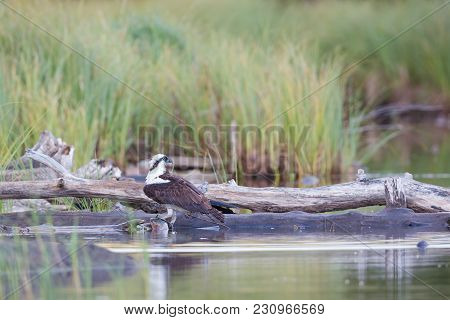 One Osprey With A Large Rainbow Trout Next To Log With Green Background