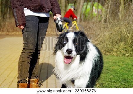 Happy Border Collie Dog On Leash Walking With Girl In Park. First Stroll Pet In Spring.