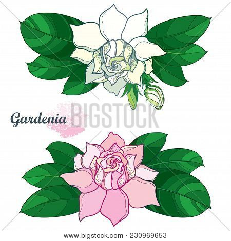 Vector Outline Pink And White Gardenia Flower Bunch, Bud And Ornate Green Leaves Isolated On White B