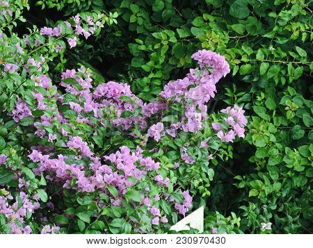 Countless Purple Flowers Mixed With The Green Foliage Of The Trees