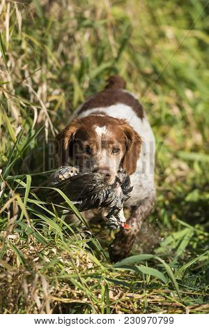 A French Brittany Spaniel With A Chukar Partridge