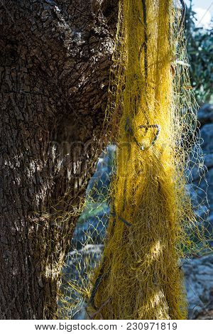 Yellow Fishing Net, Hanging From An Olive Tree In Greece