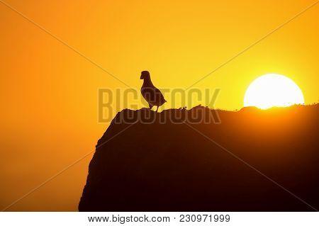 Atlantic Puffin (fratercula Arctica) Enjoys Sunset In Fair Isle, Shetland.