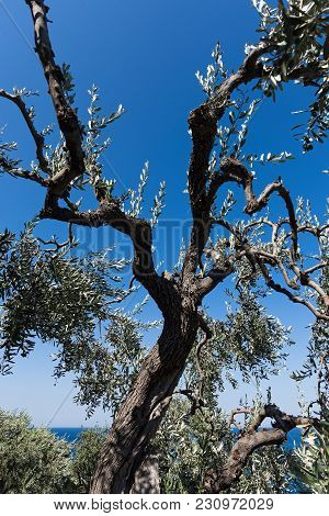 Young Olive Tree With Blue Sky And Sea In Greece