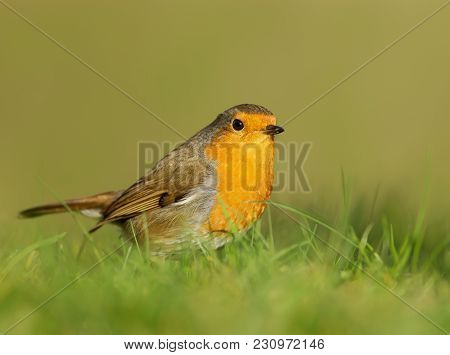 Close Up Of European Robin (erithacus Rubecula) Standing In The Meadow Grass, England.