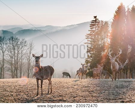 Red Deer in Morning Sun. Stunning image of red deer herd in foggy Autumn colorful forest landscape image.