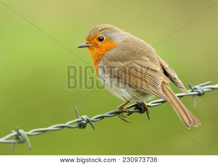 European Robin Perching On A Wire Against Green Background, Uk
