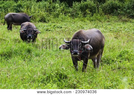 Thai Buffalo On Grass Field And Looking Camera.  Thai Countryside With Buffalo In The Grass Field. B