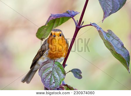 European Robin Perching On A Tree Branch In Spring, Uk.