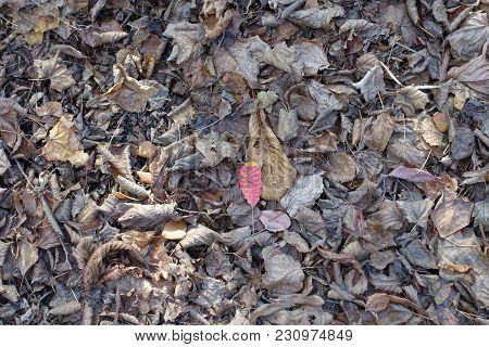 Bright Red Leaf Of Smoketree On Dull Brown Fallen Leaves