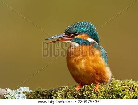 Close Up Of A Female Common Kingfisher Calling On A Mossy Branch, England, Uk.
