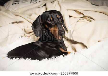 Portrait Of Dog Breed Of Dachshund, Black And Tan, Lying In Bed