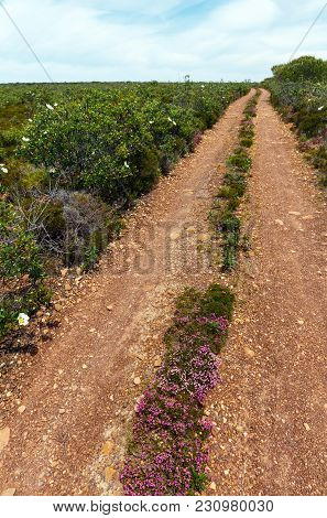 Dirty Red Clay Road To Atlantic Ocean Coastline And Big White Azalea Wild Flowers On The Sides.