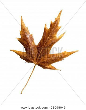 Fall Leaf With Clipping Path