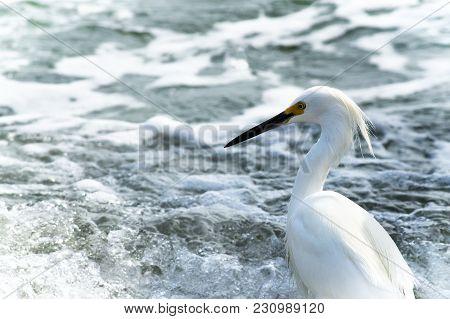 Snowy Egret - Egretta Thula - A Small White Heron On Beach