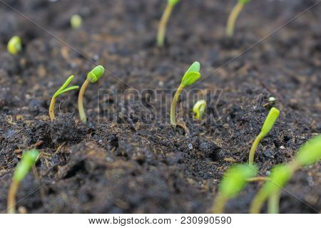 Sprouted Seeds Of Flowers Of Marigolds Sown On Seedlings In A Box In The Soil Of A House